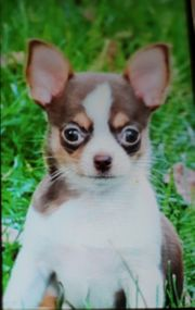 Entzückendes Chihuahuamädchen im seltenen choco