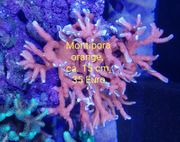 Montipora orange-weiß ca 15 cm -