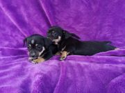 Baby Chihuahua Welpen