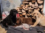 Reinrassige Labrador Welpen Sofort Abgabebereit