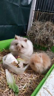 Teddyzwerge Kaninchen kaninchenbabys