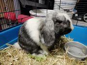 Kaninchen Rammler Minilop