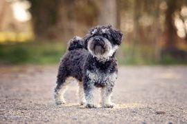 Hunde - Bolonka-Zwetna-Deckrüde in black tan deckt