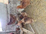 Hühner Legehennen