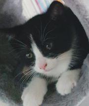 Wunderbarer außergewöhnlicher Kater Maikatze Kitten