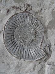 Ammonit auf Schieferplatte