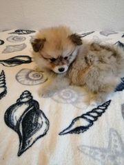 Pomeranian mit wunderschön Farblich