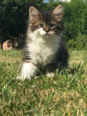 wunderschöne Main Coon Kitten abzugeben