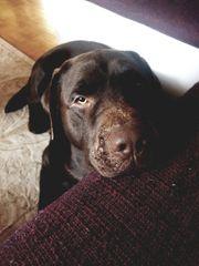 wunderschöner Labrador Deckrüde