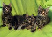 XL Maine Coon Kitten mit