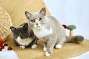 Bezaubernde BKH-Kätzchen 5 5 Monate