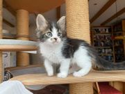 Unsere reinrassige Maine Coon Kitten