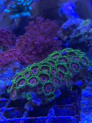 Zoas Koralle abzugeben