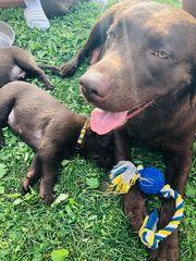 Labrador Welpen reinrassig beste Aufzucht