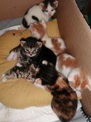 Babykatzen EKH BKH Mix