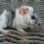 Süße Meerschweinchen Babys Rosette-Langhaar-Glatthaar