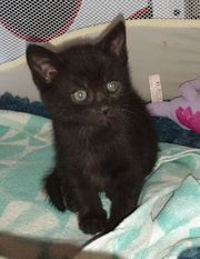 Scottish Fold Mix Kitten SCF