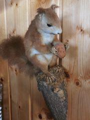 Eichhörnchen Tierpräparat