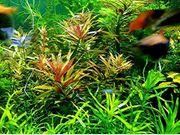 Tannenwedelähnlicher Sumpffreund RARITÄT Aquariumpflanzen Versand