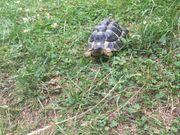Griechische Landschildkröte Testudo hermanni hermanni