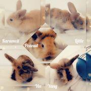 Zwergkaninchen Jungtiere Babys Kaninchen Hasen