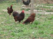 Hühner Zwerg Wayandotten Farbschlag rot
