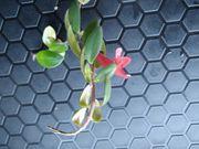 Aeschynanthus sp rankende blühende Terrarien