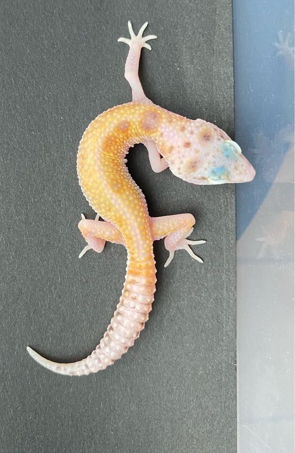 Leopardgecko auf Weibchen inkubiert 2021