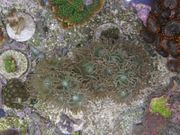 Korallenableger- Bartkoralle Duncanopsammia axifugia
