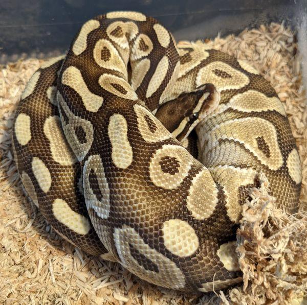 Königspython Python Regius 0. 1 Lesser Yellowbelly aus 2018
