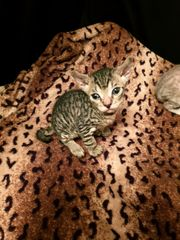 Bildhübsche Sphynx Kitten
