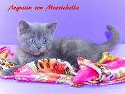 Wunderschöne BKH Junge Kitten mit
