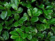 Kirschlorbeer Prunus laurocerasus - Pflanzen