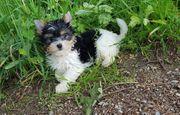 Süsser Yorkshire Terrier Biewer la