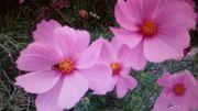 COSMEA rose weiß oder Mix