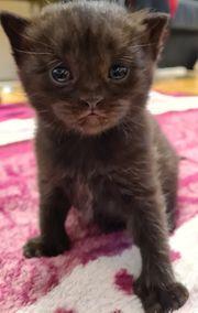 BK Kitten