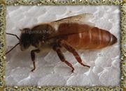 Ligustica Bienen Königin