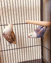 2 Papageien Agaporniden Paar - Unzertrennliche