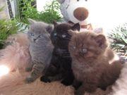 6 BKH Babys - in cinnamon