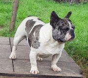 Französische Bulldogge Deckrüde