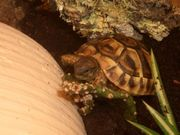Nachzucht Griechische Landschildkröte