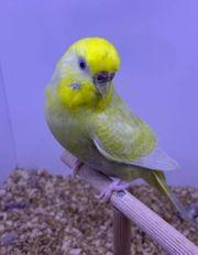 Wellensittich Henne