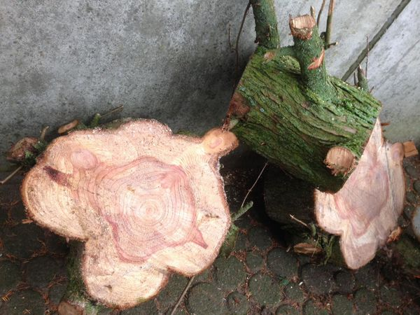 Naturholz Holzart Sequoia Mammutbaum Rare