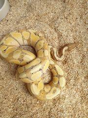 königspython banana