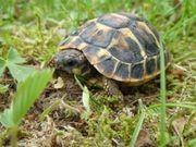 Griechische Landschildkröten T h h