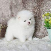 Super süße Pomeranian Zwergspitz
