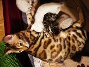 Reinrassige Bengal Kitten in Snow