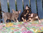 Französische Bulldoggen Welpen Lilac Choco