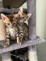 BENGAL Kitten Brown Spotted
