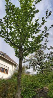 Buche - Baum